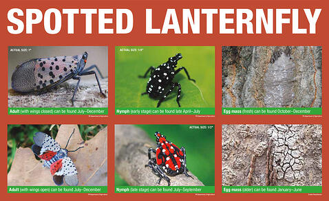 Spotted Lanternfly Lifecycle Penn State University