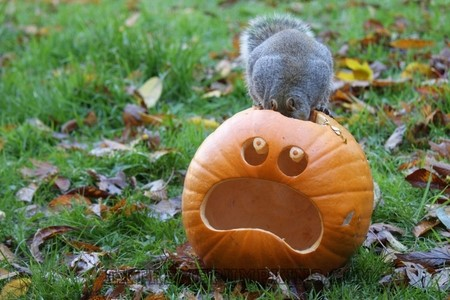 Squirrels Eating Carved Pumpkin