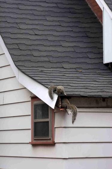 Do Squirrels Live In Attics