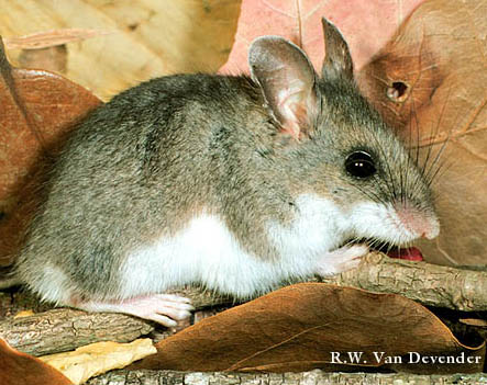White Footed Mouse In New Jersey