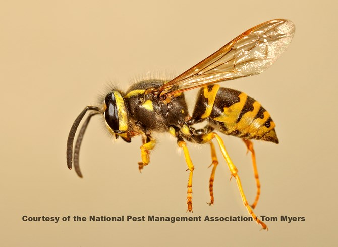 Yellow Jacket Nest Removal Lansdale