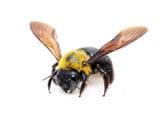 Buy Online - Carpenter Bee Service