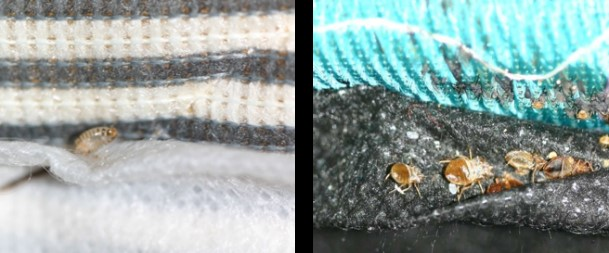 Carpet Beetle And Bed Bug