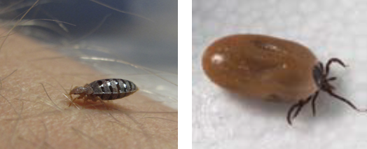 Bed Bug and Tick
