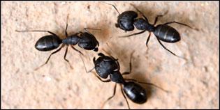 Carpenter Ants Photo