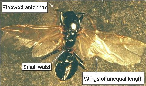 Flying Ant Photo