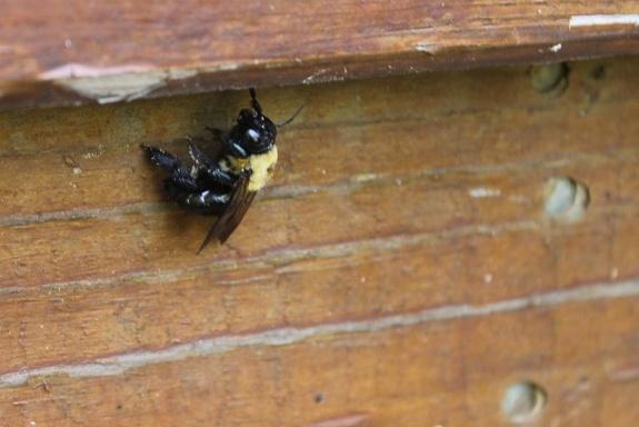 carpenter_bees.jpg