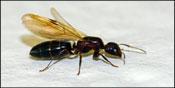 flying_ants.jpg