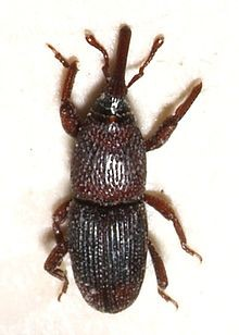 Wheat Weevil NJ