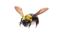 Buy Online - Carpenter Bee Service