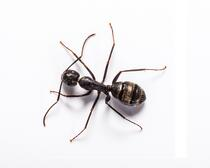 Buy Online - Ant Removal photo