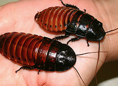 roach races 2