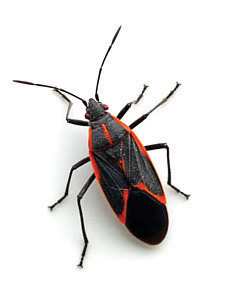 boxelder bugs in my house