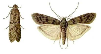 mediterranean_flour_moth.jpg