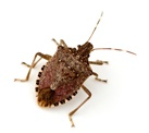 brown-marmorated-stink-bug.jpg