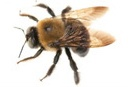 Carpenter Bee Information