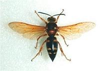 cicada-killer.jpg