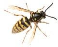 Wasp Removal NJ