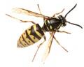 Wasp Information