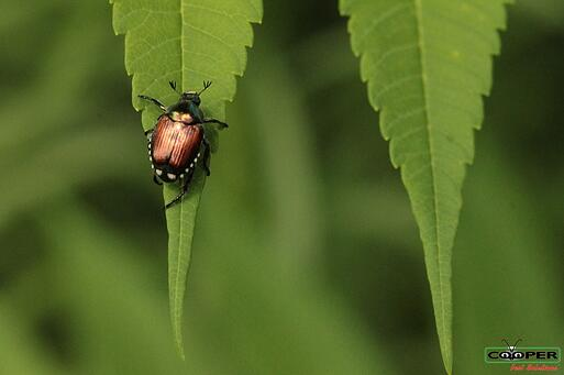 What Are Japanese Beetles