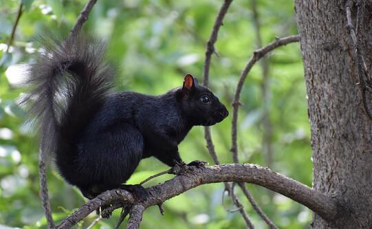 black eastern gray squirrel wikipedia