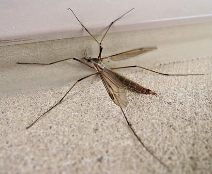 What Is A Crane Fly