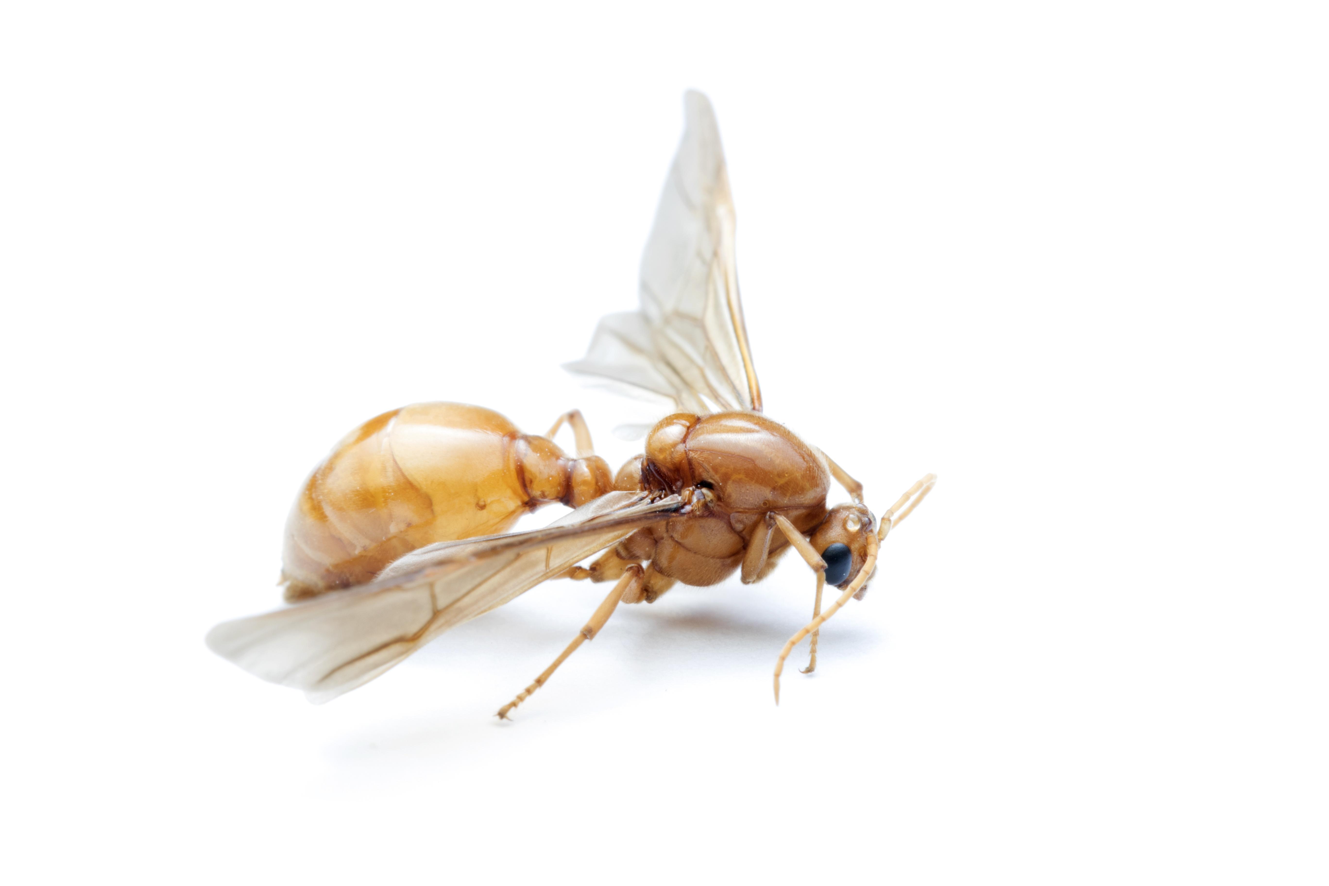 Flying Ant Service NJ