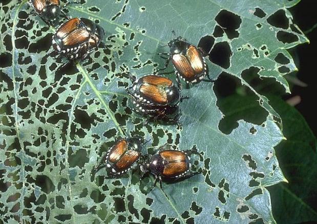 Japanese Beetle Plant Damage