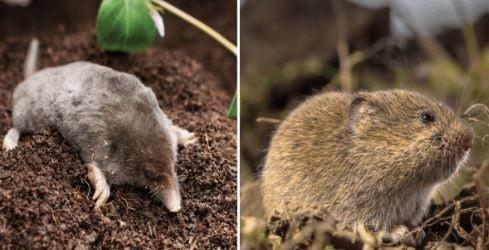 mole vs vole alabama cooperative extension