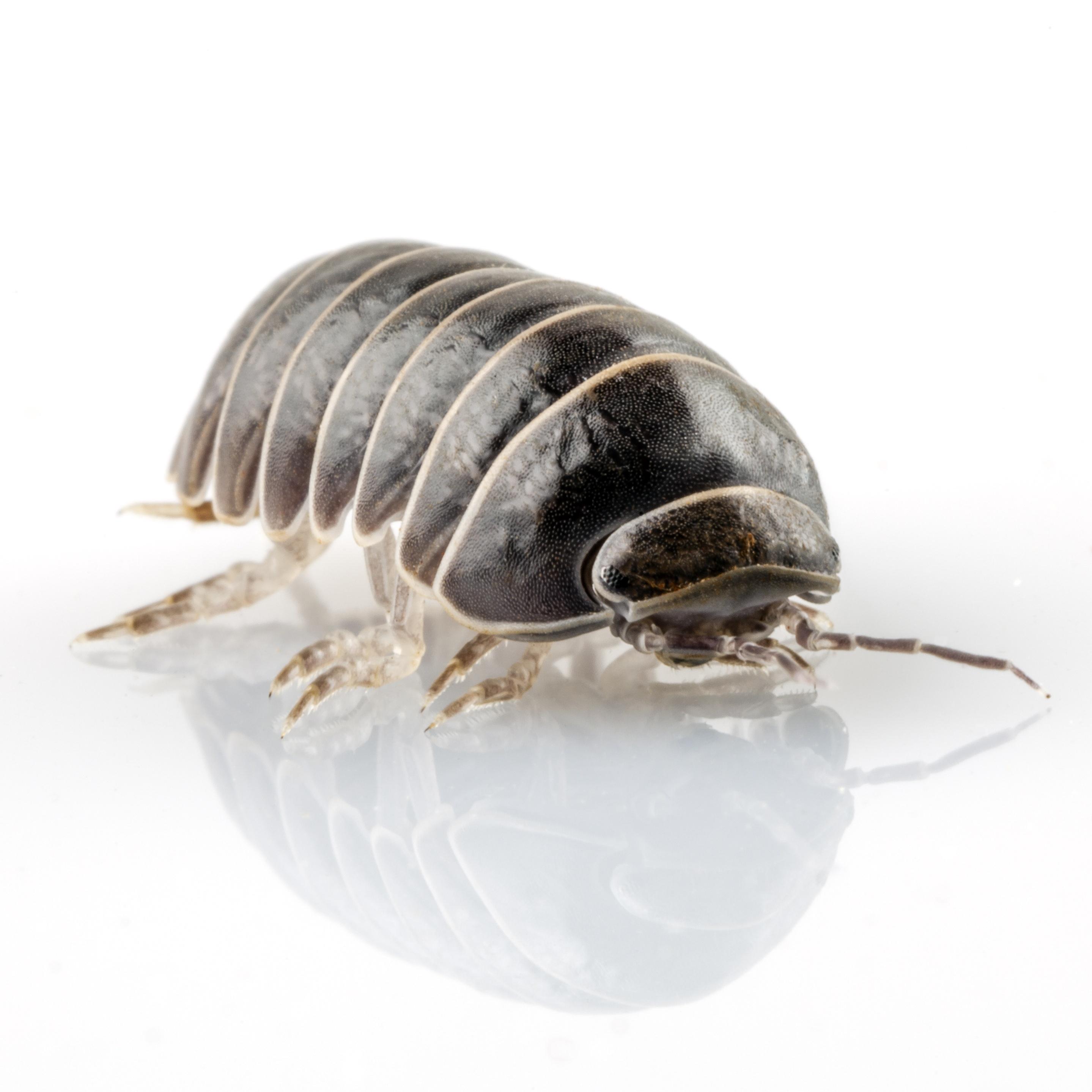 pill bug.jpg