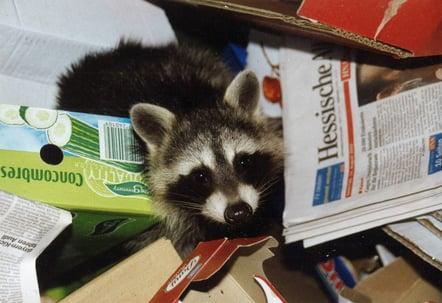 Raccoon In Trashcan
