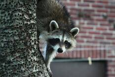 Raccoon In NJ