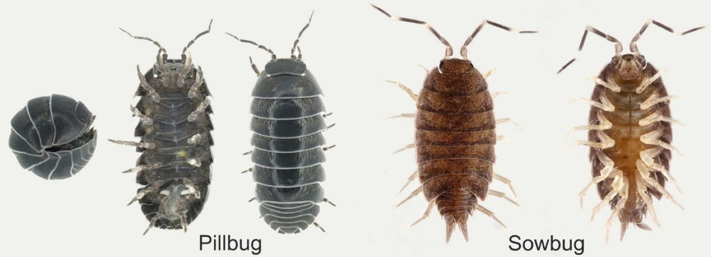 sow bug vs pill bug University of Nebraska-Lincoln