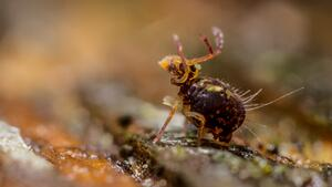What Does A Springtail Look Like