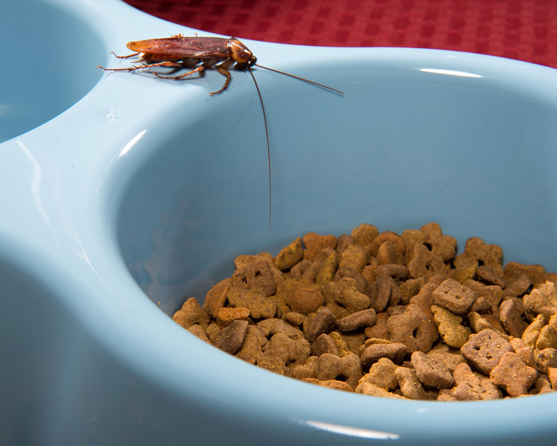 16_American Cockroach on Dog Dish.jpg