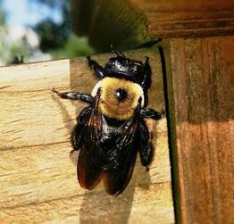 carpenter bee pricing