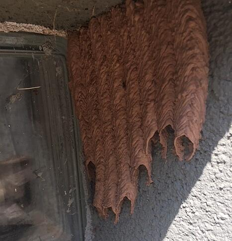 Mud Wasp Nest
