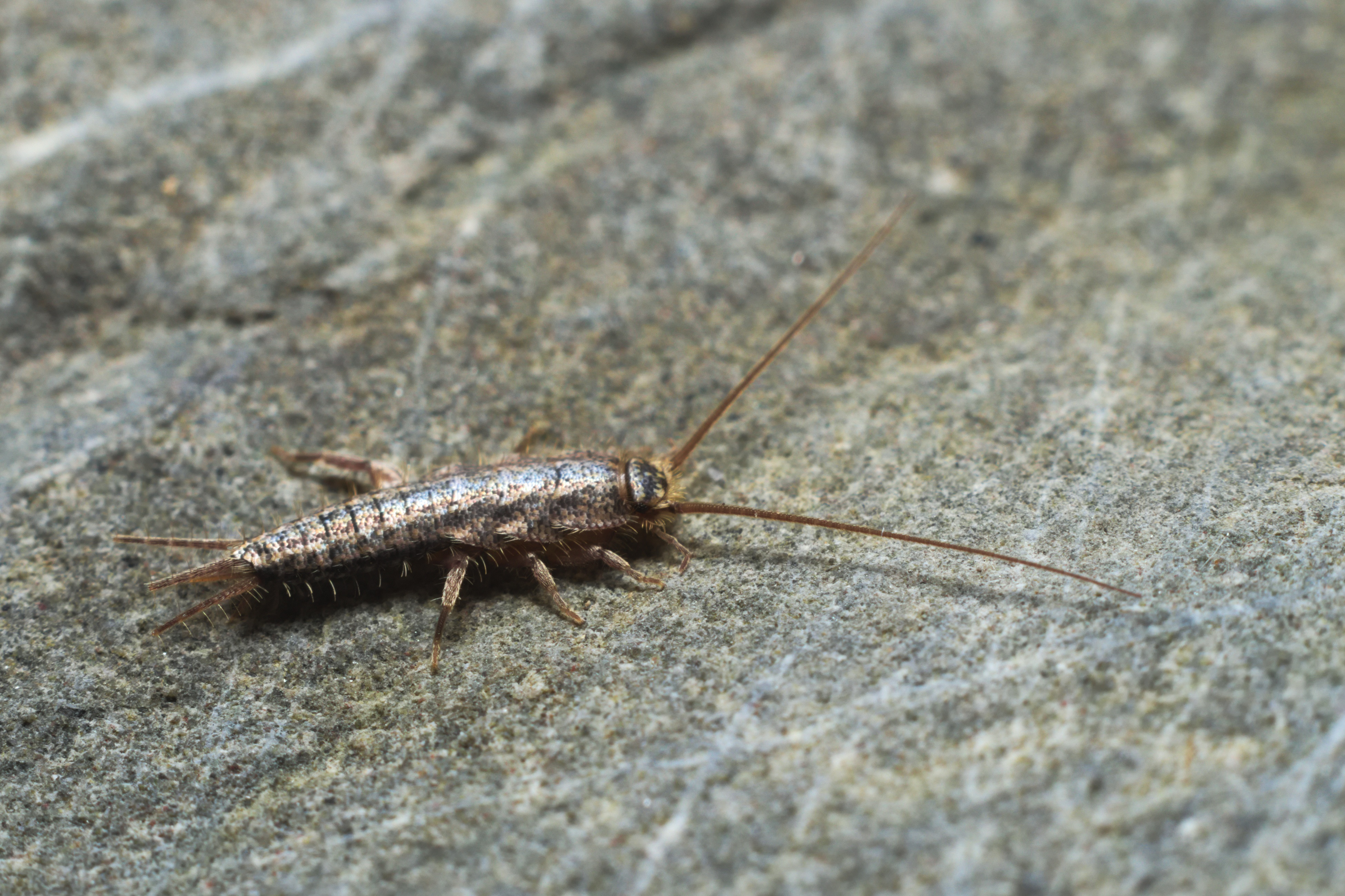 Silverfish In Home