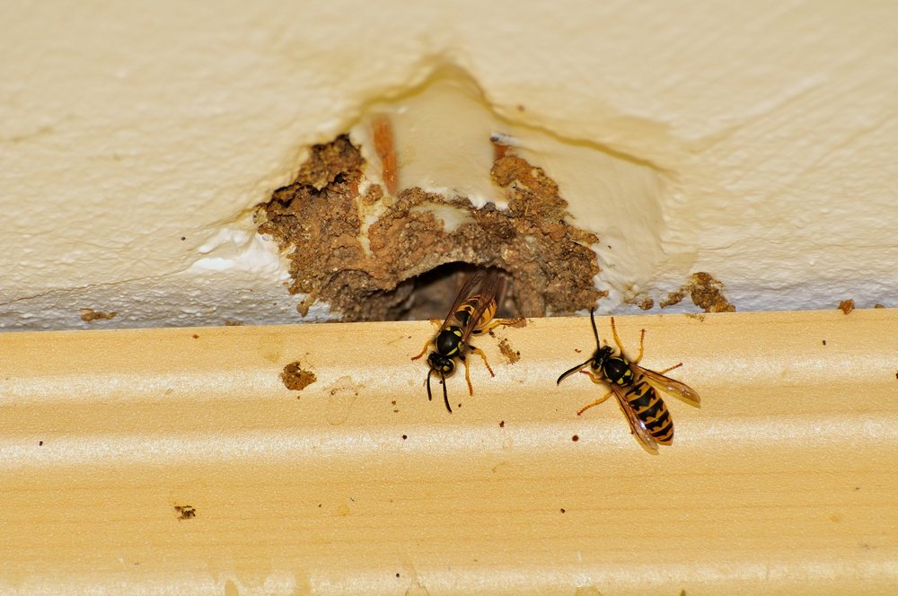 Yellow Jackets Inside A House