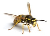 Buy Online - Stinging Insects Removal