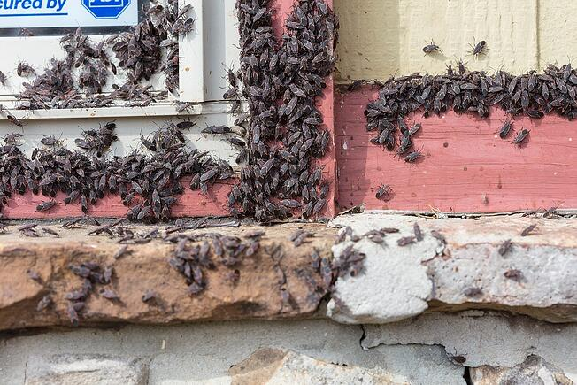 boxelder bug infestation