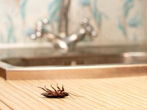 cockroach kitchen counter sink