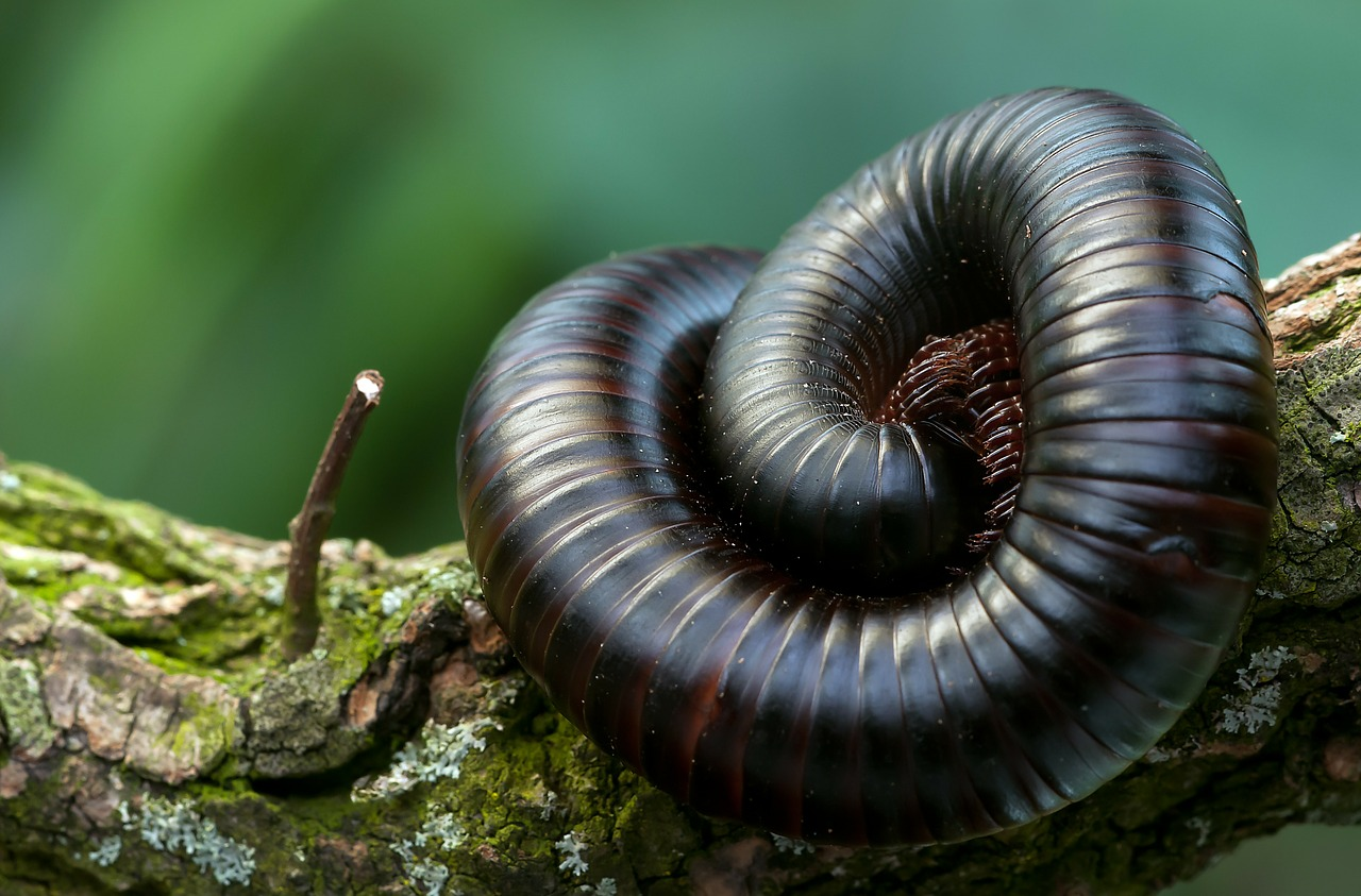 Millipede Identification