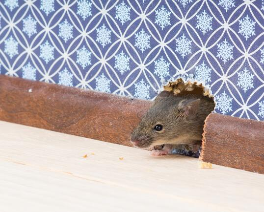 mice in walls