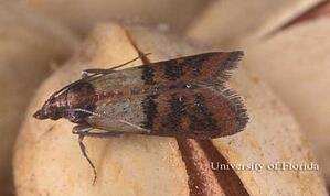 indian meal moth-1