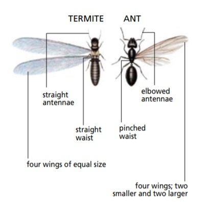 flying ant or termite