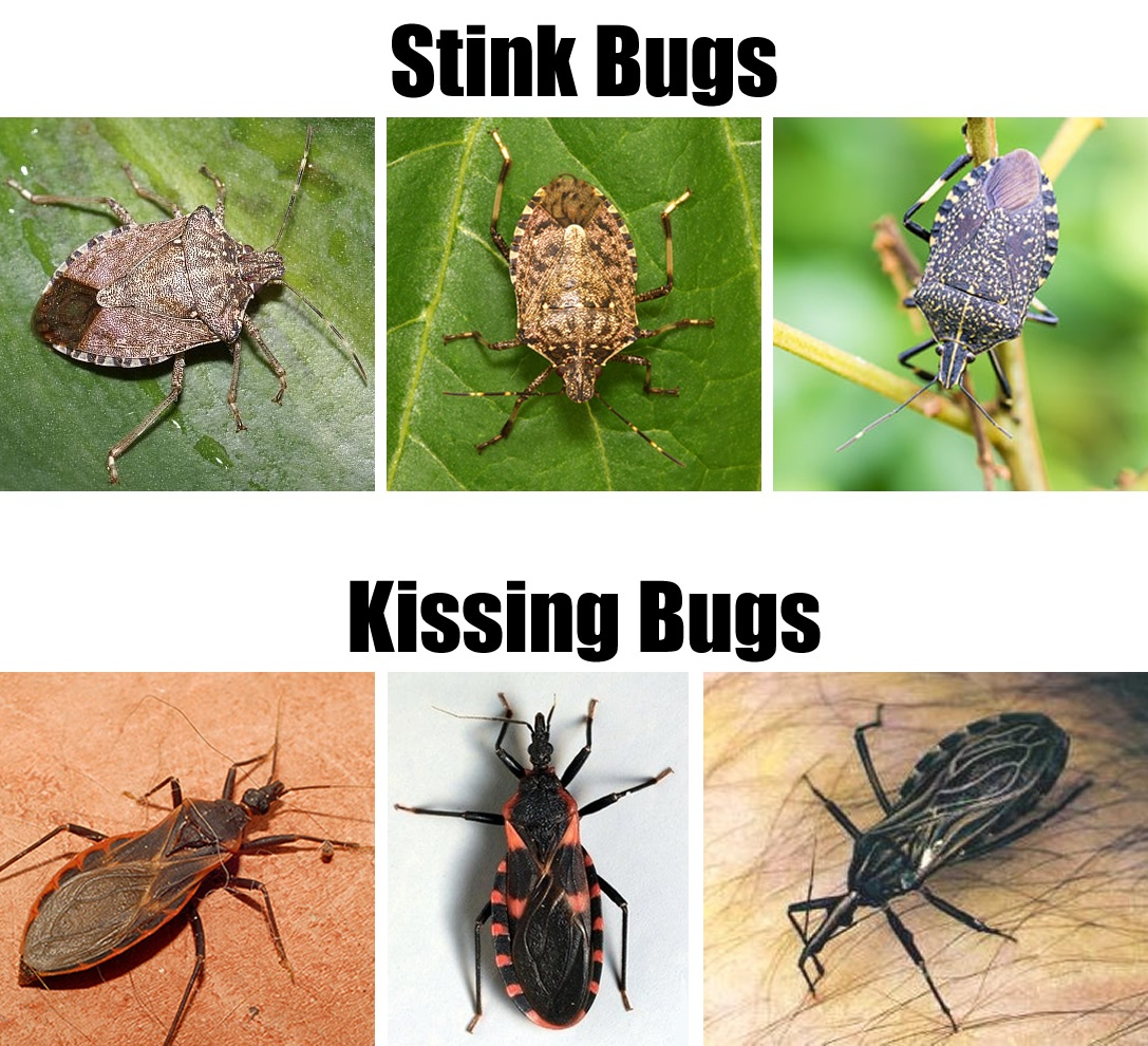 Stink Bugs vs Kissing Bugs