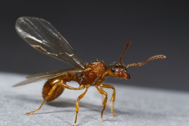 How Can I Get Rid Of Flying Ants
