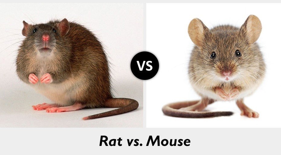 Mice vs  Rats – What's the difference?