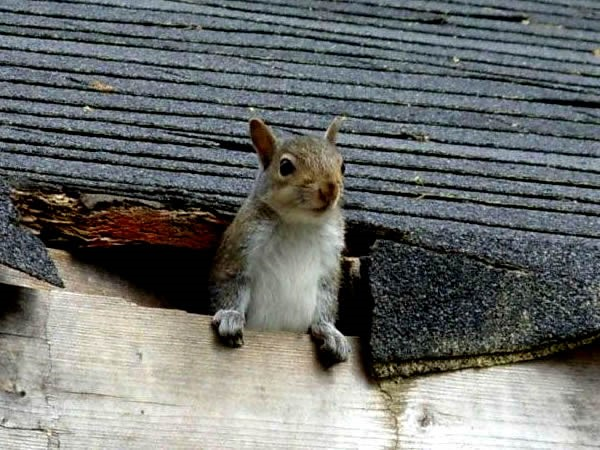 How Can I Get Rid Of Squirrels In My Attic